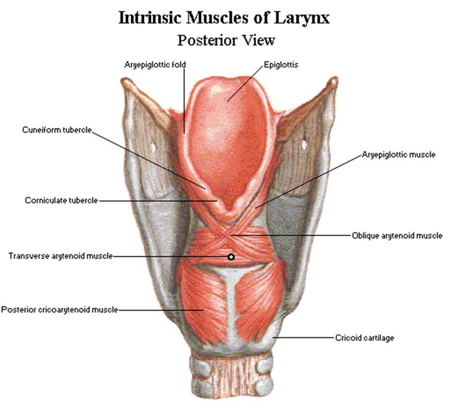Anatomy-Posterior view of the intrinsic muscles of the larynx ...