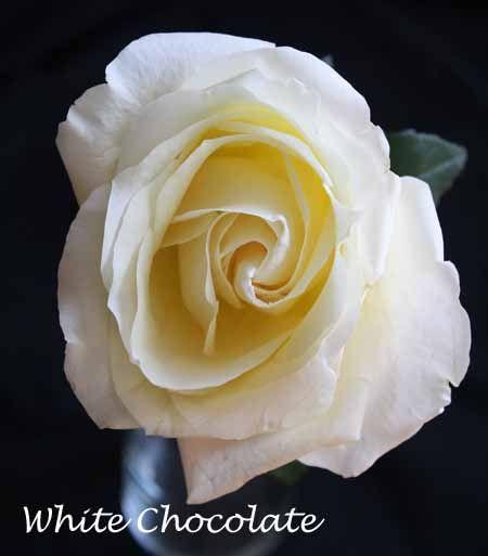 Varieties Of White Roses White Roses Rose Flower Identification