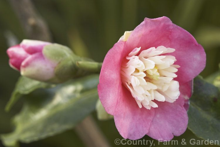 Camellia Scented Gem A Miniature Hybrid Camellia With Very Small Fragrant Flowers That Have A Distinctive Petaloid Centre Camellia Fragrant Flowers Flowers