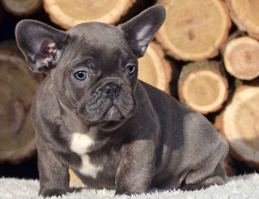 Our Breeding Bulldog Breeds French Bulldog Breed White French