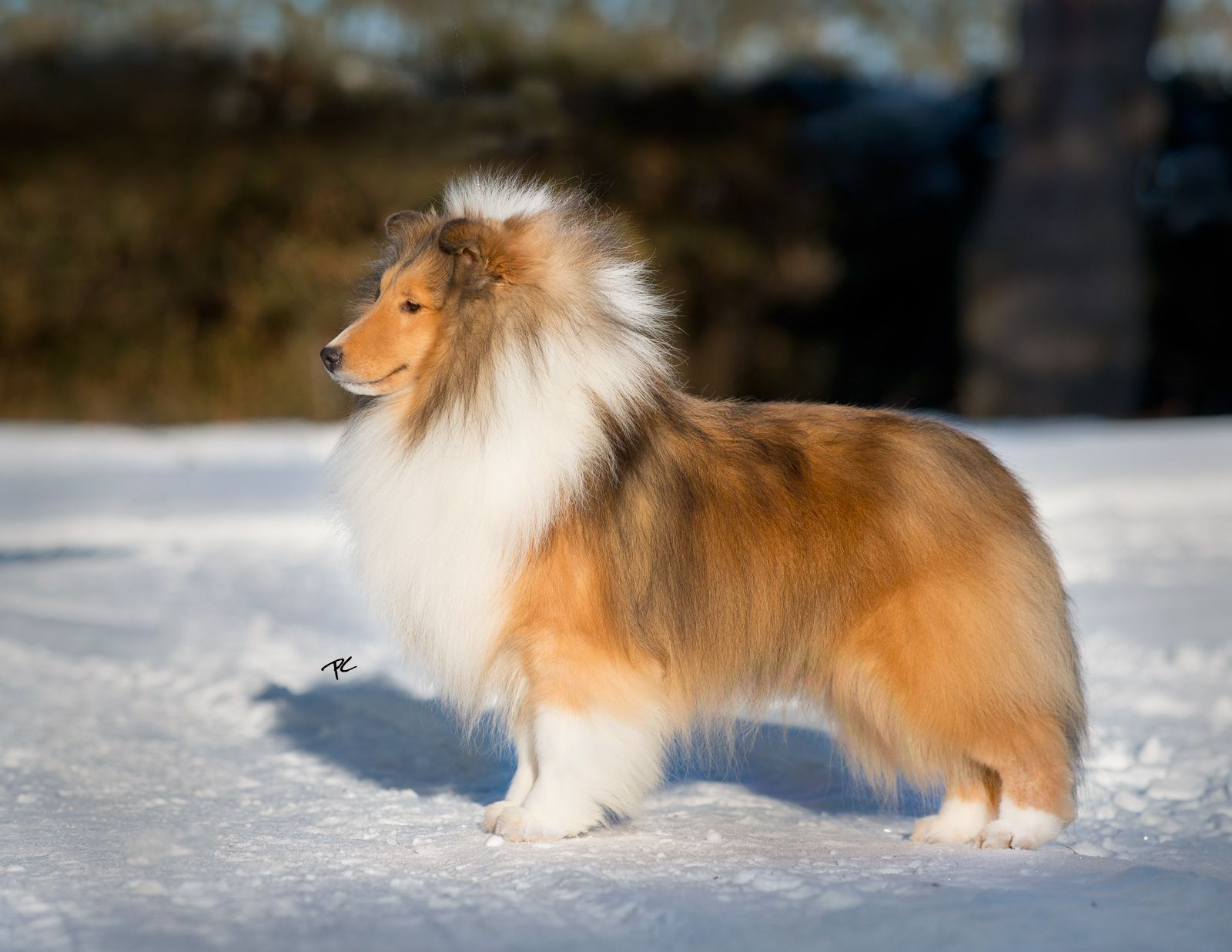Am Ch Laureate Macadamia I Love Dogs Shetland Sheepdog Cute