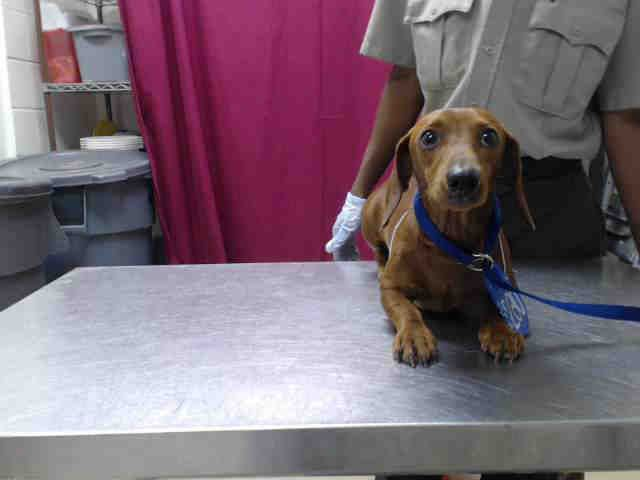 HoustonThis DOG IDA416104 I am a male, brown and red