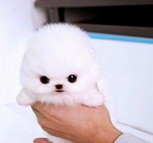 White Princesa Puppy Micro Teacup Pomeranian Cute Baby Animals