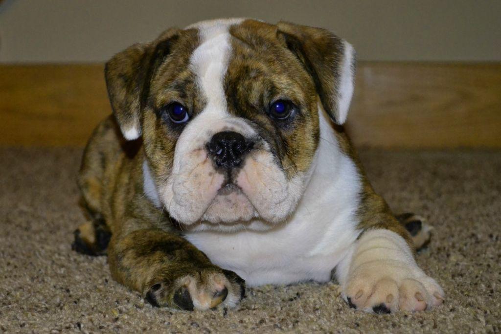 Pitbull English Bulldog Mix Puppies Puppies English Bulldog