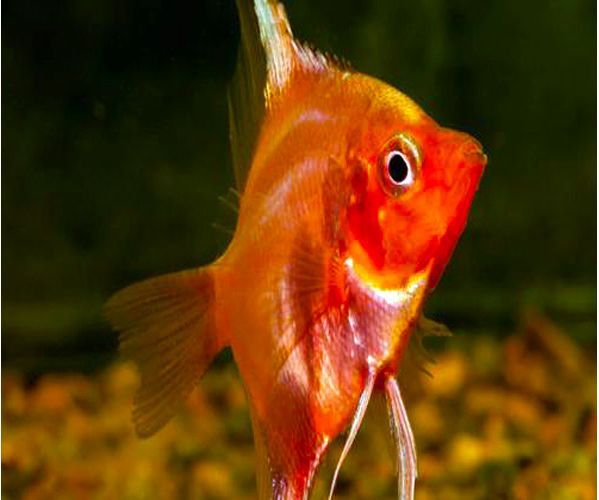Rare pterophyllum scalare super red angelfish for sale at for Rare freshwater fish for sale