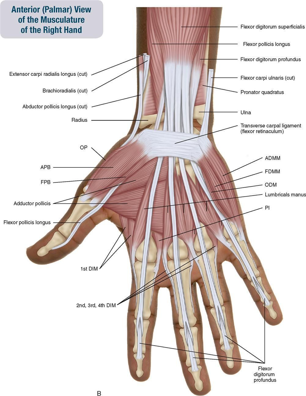 Forearm And Hand Anatomy Anatomy Hand Anterior Muscles Of The