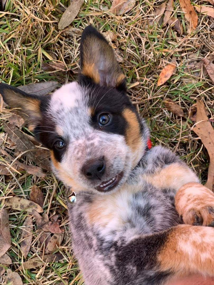 Texas Heeler Australian Shepherd Heeler Puppies Shepherd Mix Dog