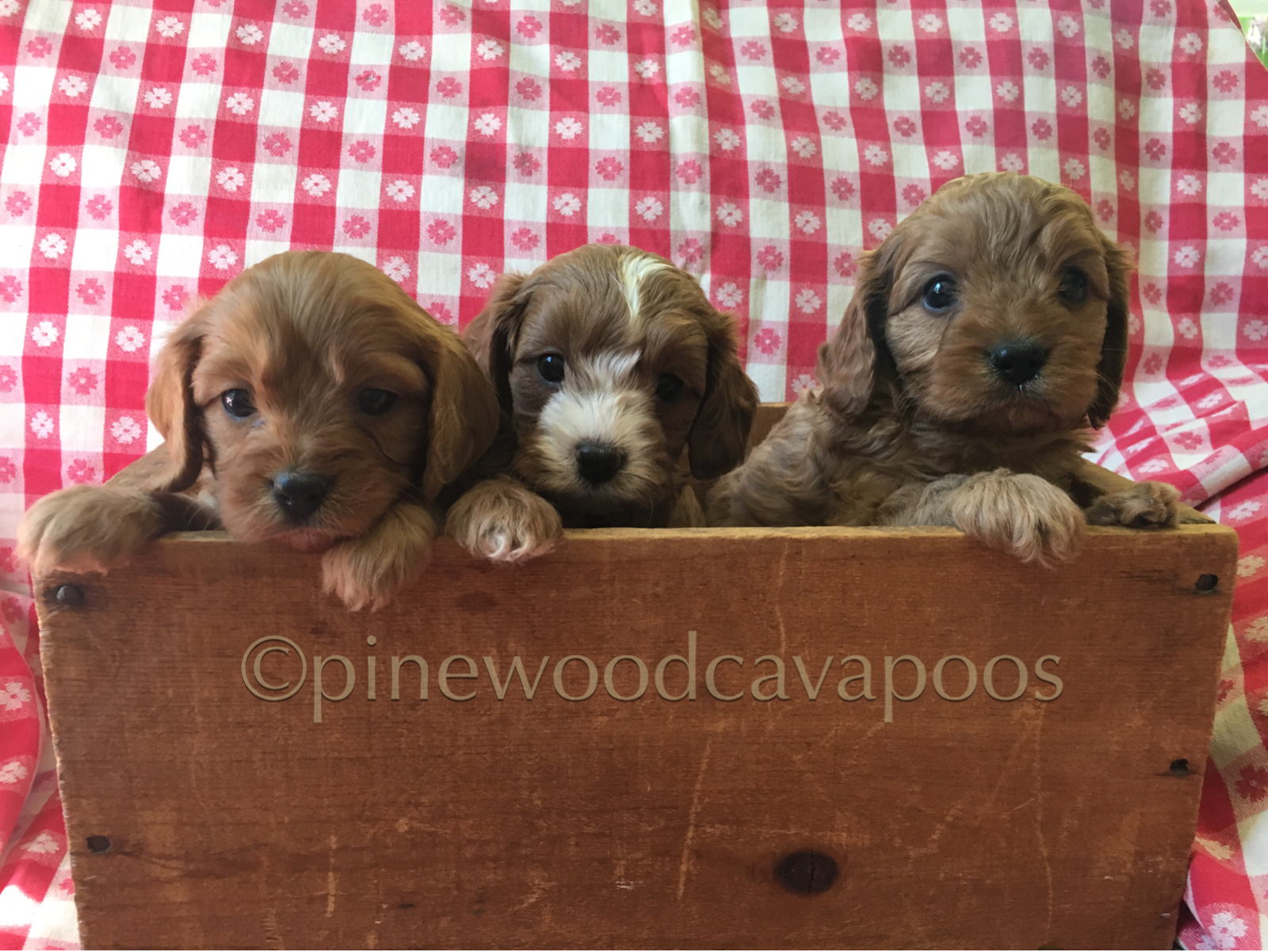 Red Cavapoo Puppies At 5 Weeks Nicole Lucy Harry From Jules Clancy Pinewoodcavapoos Com Cavapoo Puppies Cavapoo Dogs Puppies