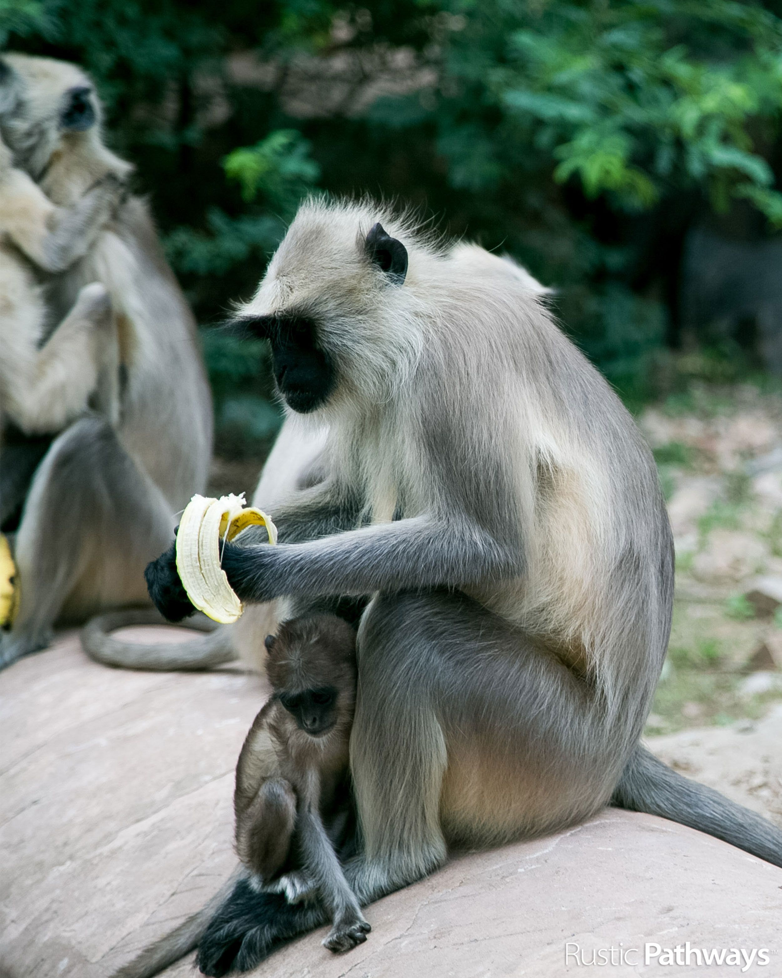 Gray Langur Monkeys India Matt Hardy Namaste India Garden