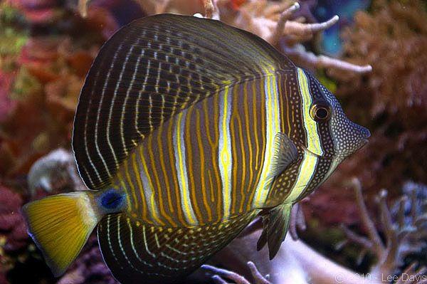 Sailfin Tang Zebrasoma Veliferum Australia Marine Aquarium Under The Sea Fish Pet