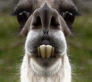 Lama Laughed For Min Funny Photos Funny Llama Pictures Pictures