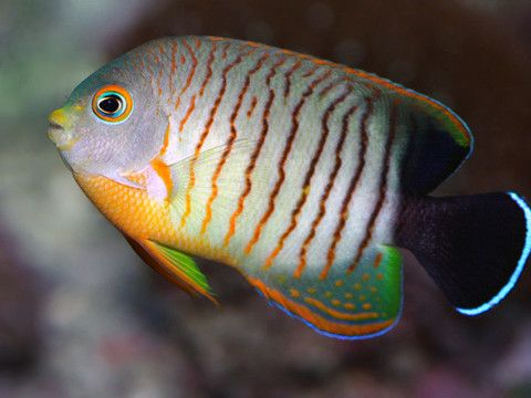 Featured Fish On Sale This Week Angel Fish Saltwater Fish Tanks Marine Fish