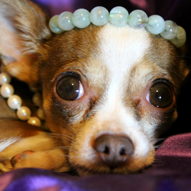 Meet Lucy, a Chihuahua from Laguna Niguel, CA, United States