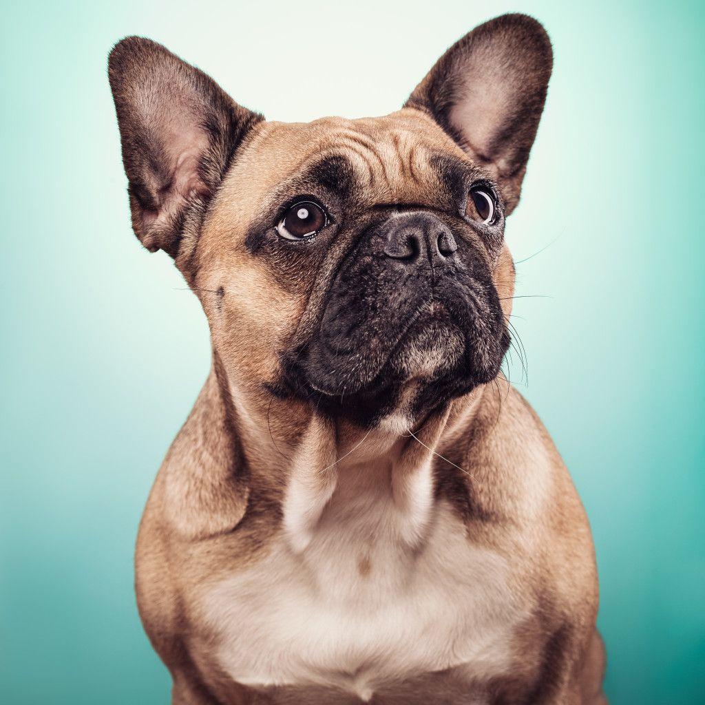 Pin Von Genki Bulldog Auf Franzosische Bulldoggen Fotos Franzosische Hunde Franzosische Bulldogge Hunde