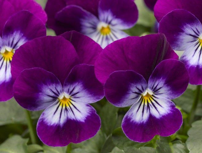Viola Penny Violet Flare Pansies Flowers Flower Meanings Pansies