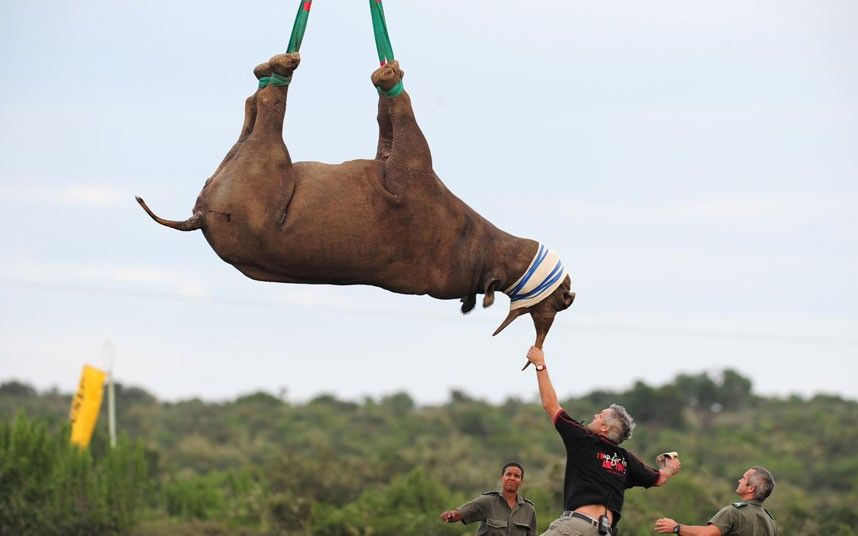 """These men aren't hurting this rhino. According to the source: """"For some endangered rhinos, a 1,000-mile journey to rescue from them poachers starts with a helicopter ride — hanging upside down, blindfolded and sedated. That might sound uncomfortable, but experts say it's easier ... than by other means. This new procedure is gentler on the darted rhino because it shortens the time it has to be kept asleep with drugs."""""""