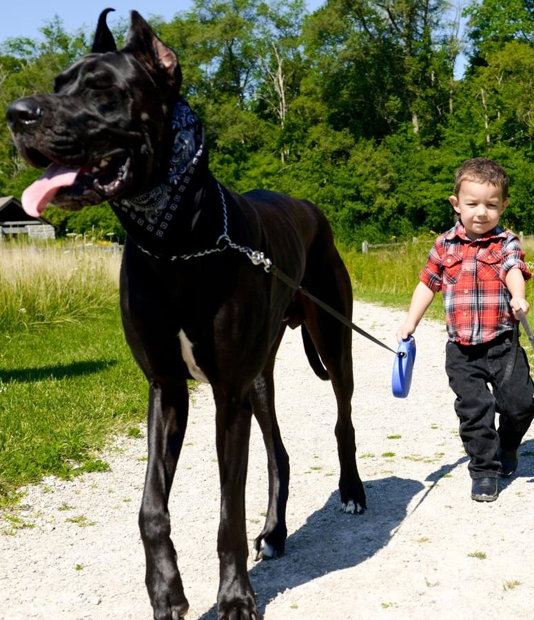 Gorgeous Great Danes Google Search Big Animals Dane Dog