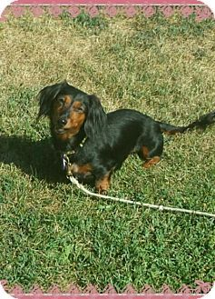 Akron Oh Dachshund Meet Agave A Dog For Adoption Dogs Dog