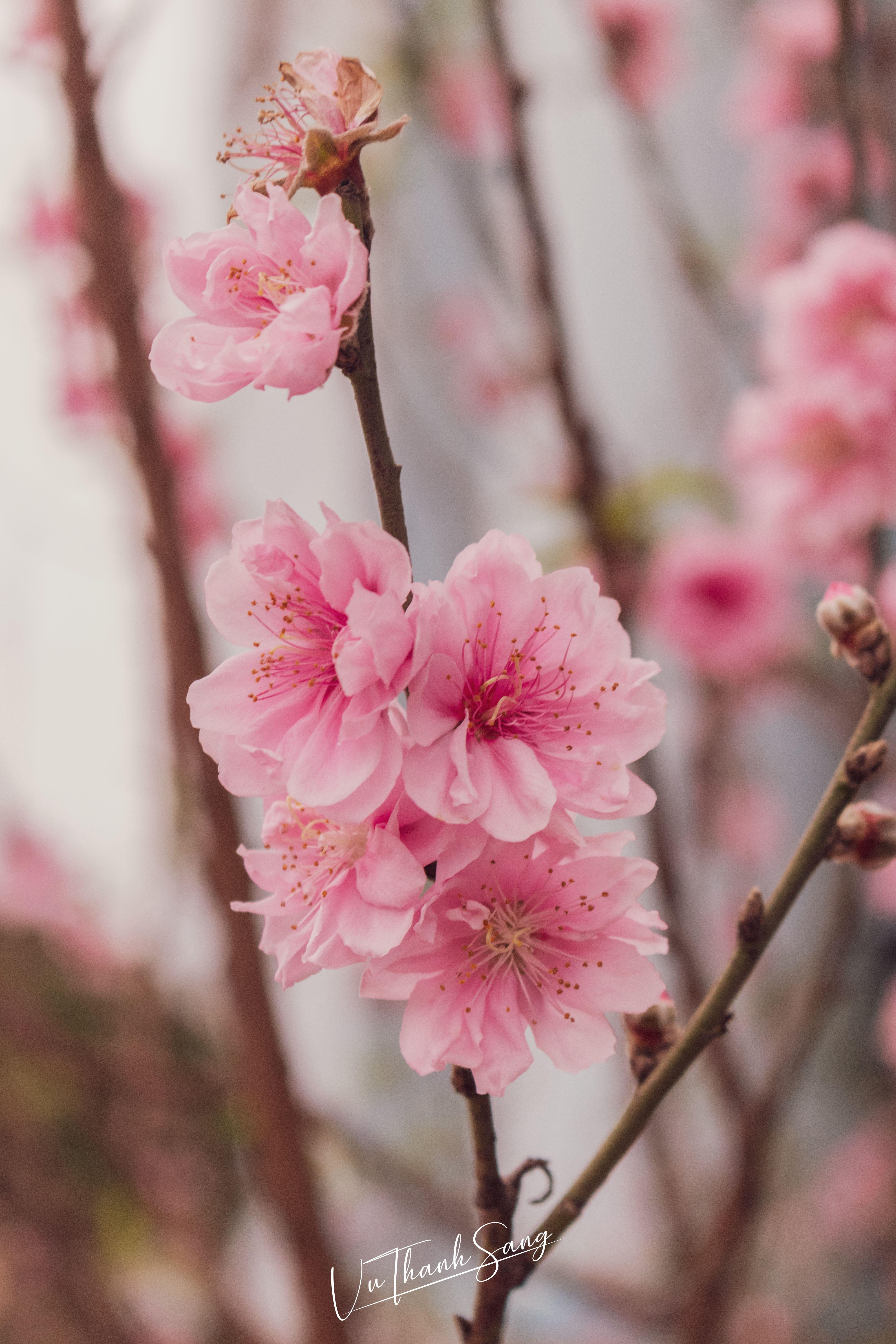 Peach Blossom Peach Blossom Flower Peach Blossom Tree Peach Blossoms
