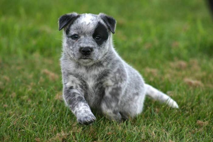 Blue Heeler Puppies Blue Red Heeler Puppies For Sale In Nanaimo British Columbia Blue Heeler Puppies Heeler Puppies Red Heeler Puppies
