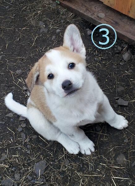 綺麗な茶白ブチくん 茨城県 犬の里親募集 15764 ペットのおうち 月間利用者150万人 犬 里親 ペット用品
