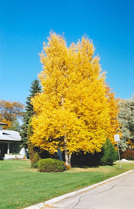 Click to view full-size photo of Paper Birch (Betula ...