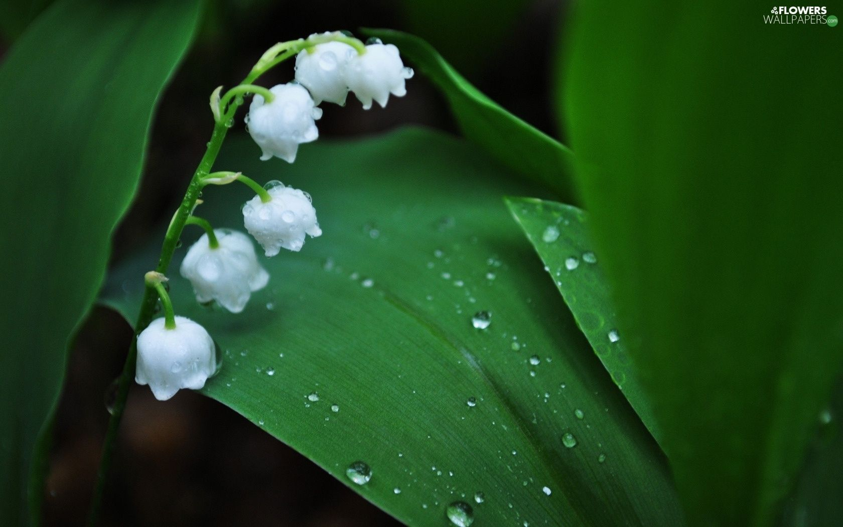Water drops white lily of the valley flowers flowers flower izmirmasajfo Choice Image