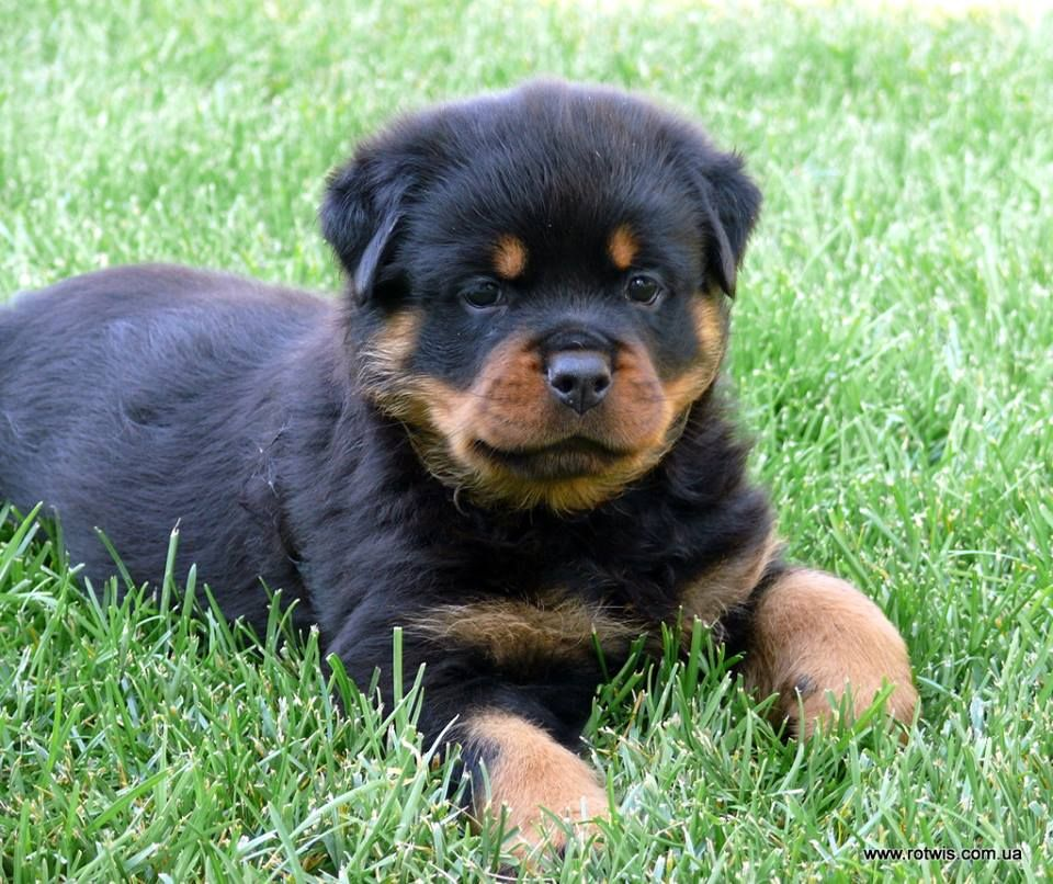 From House Rotvis Rottweiler Kennel Ukraine Rottweiler Kennel
