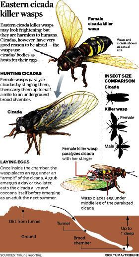 1a2ad077729cf760945335b4b955572a - How To Get Rid Of Cicada Killer Wasp Nests