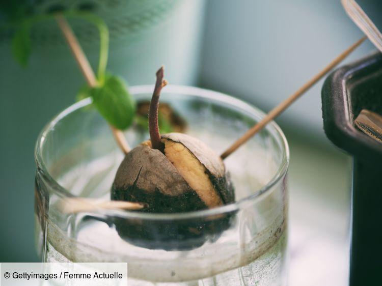 Comment Planter Un Noyau D Avocat Culture D Avocat Avocat