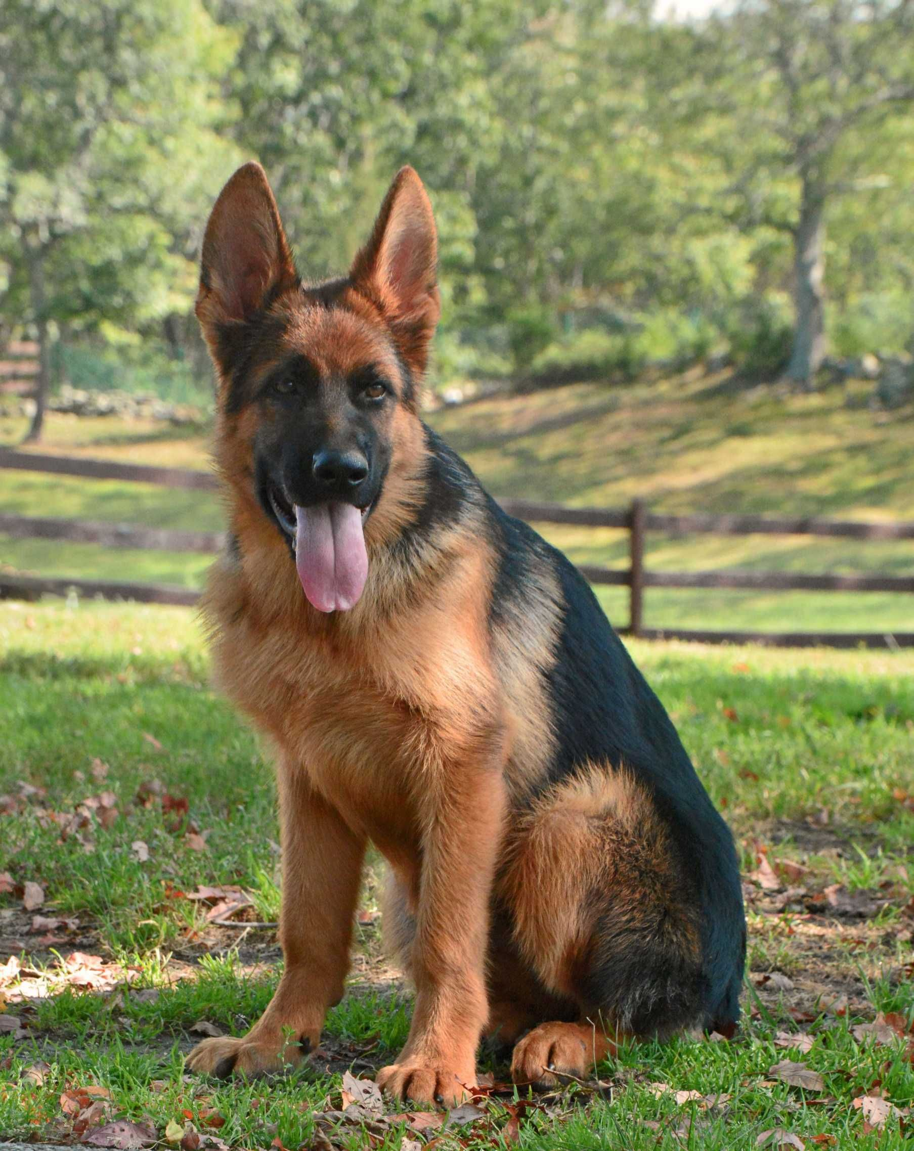 Urgent Kill Shelter German Shepherd For Adoption In Apple Valley