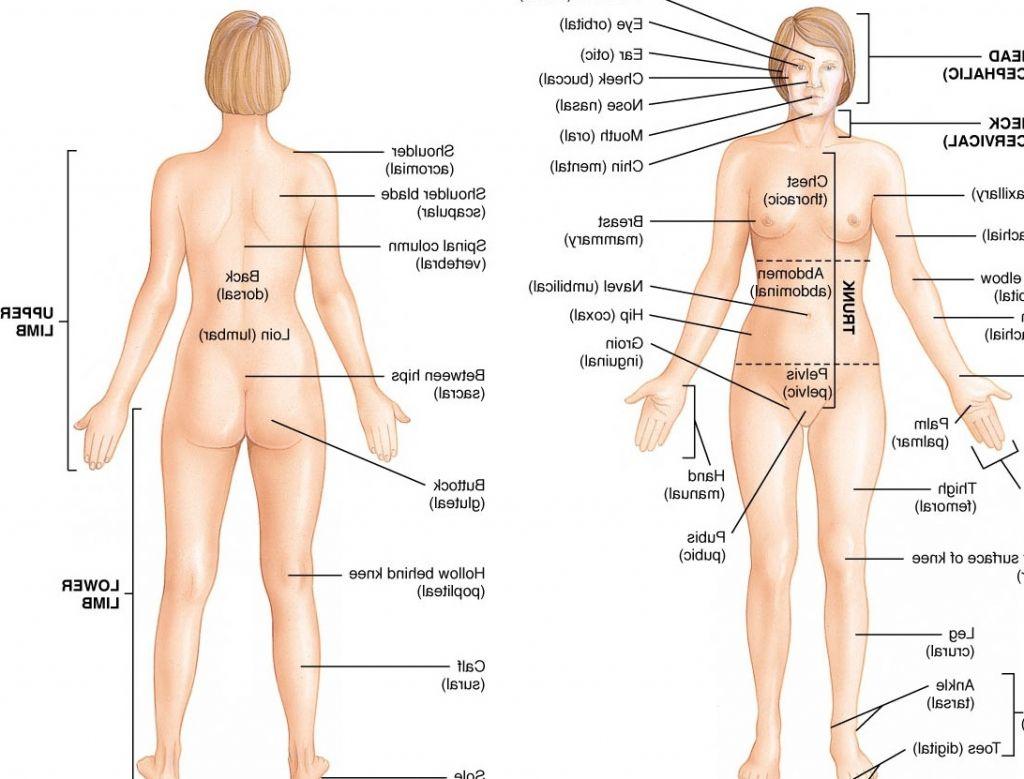 Human Female Anatomy Diagram Human Anatomy Organs Human Anatomy