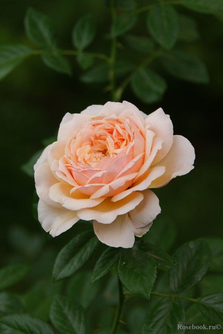 Amber Abudance Floribunda Rose Hakness 2000 Envy
