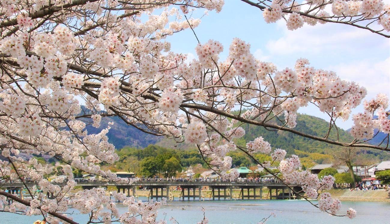 京都 桜 開花 2020