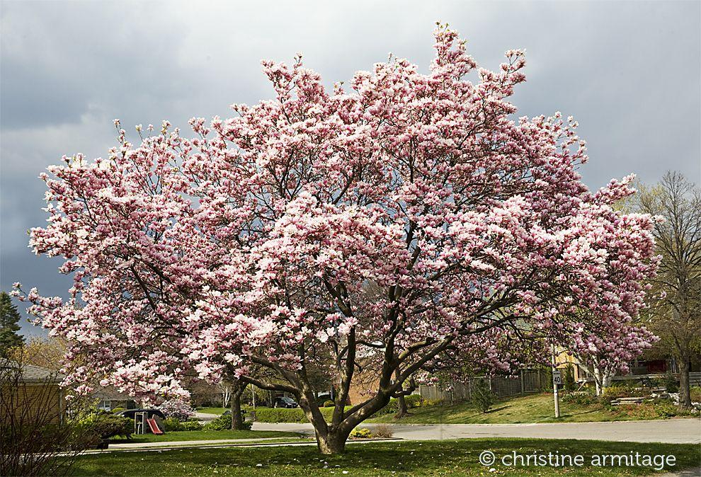 Magnolia Tree Toronto Common Names Southern Magnolia Bull Bay