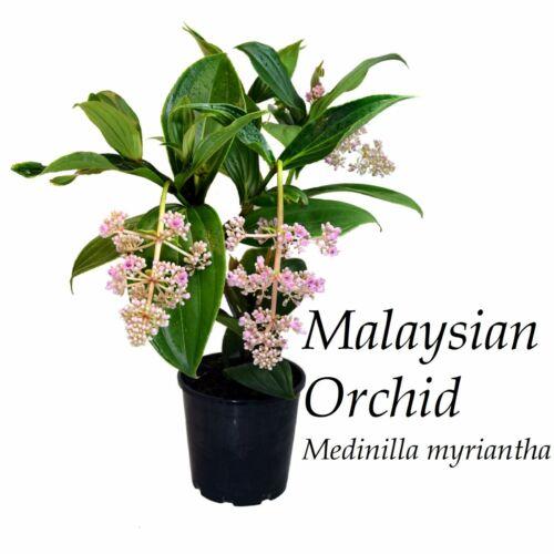 ~MALAYSIAN ORCHID~ Medinilla myriantha Exotic Malaysian Grapes Small Potd Plant | eBay