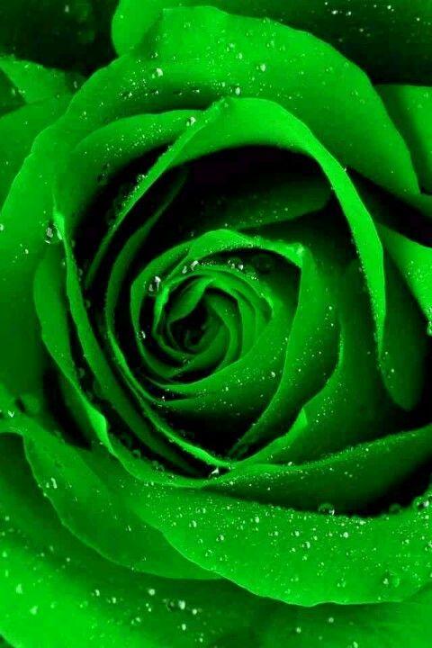 Jp Sparkling Jade Rose I Love This Beautiful Green Rose 색깔 나뭇잎 식물