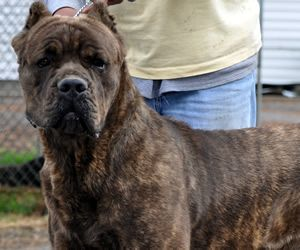 Pin By Amanda Villacis On Puppy Love Cane Corso Cane Corso Mastiff Big Dogs