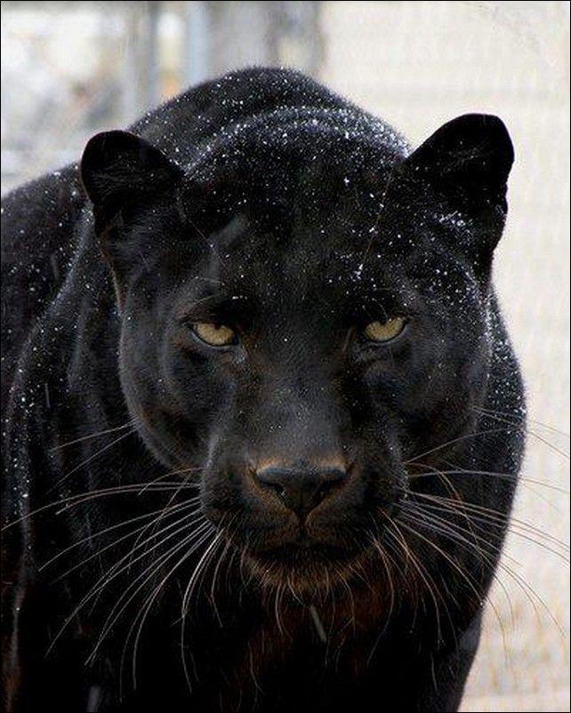 пантера чёрная фото