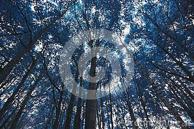 Download Blue Forest Trees Royalty Free Stock Photos For Free Or As