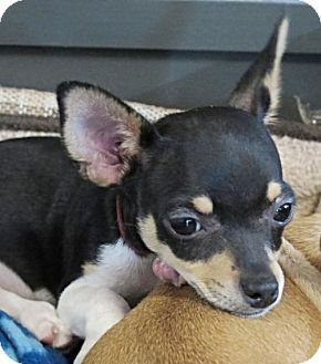 San Antonio Tx Toy Fox Terrier Meet Bevo A Puppy For Adoption
