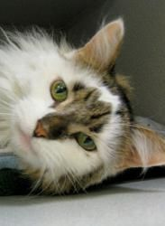 Chief Is An Adoptable Domestic Long Hair Cat In Saint Paul Mn Purebred Cats Long Haired Cats Animal Pictures