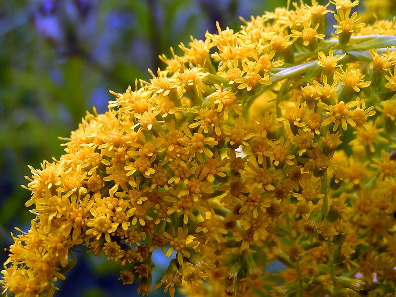 Kentucky State Flower The Goldenrod Proflowers Blog Kentucky State Flower Proflowers Kentucky State