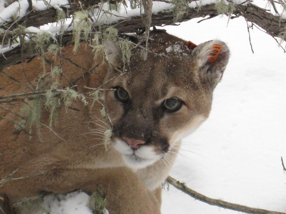 Guides plead guilty to illegal mountain lion hunting. http://1.usa.gov/1BWFkvE