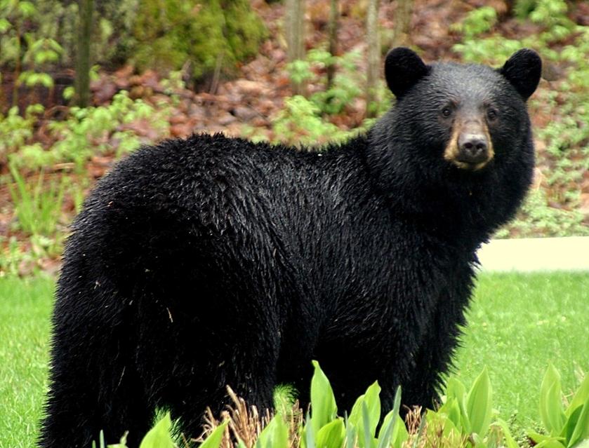Houstongateway On Twitter Black Bear American Black Bear Bear Pictures