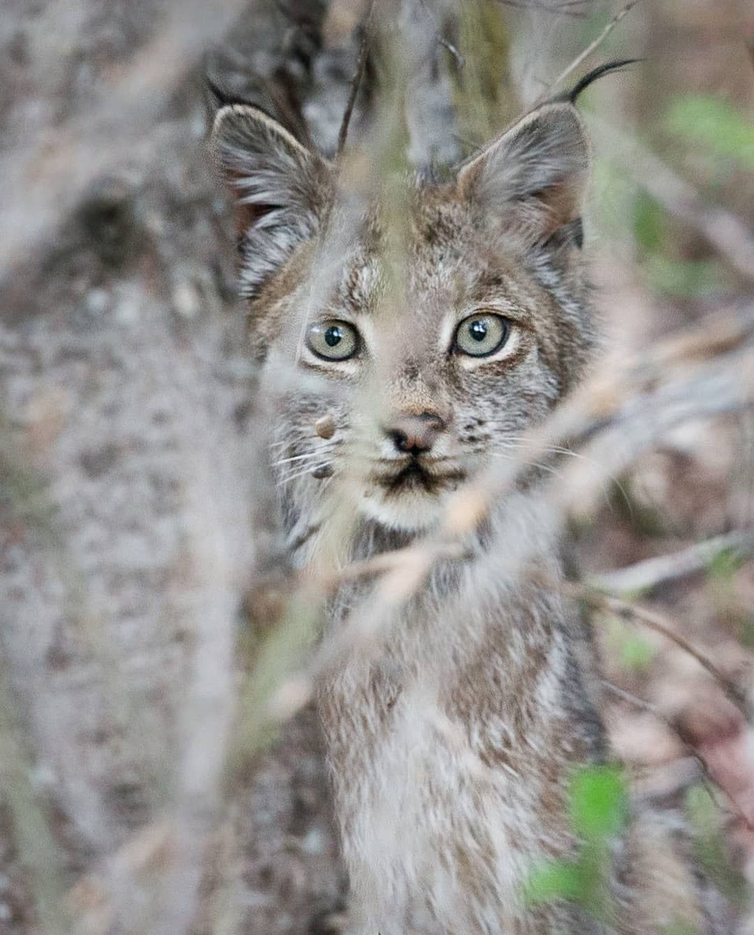 b580d01b3d59 A young lynx peering out behind the trees in Riding Mountain National Park.
