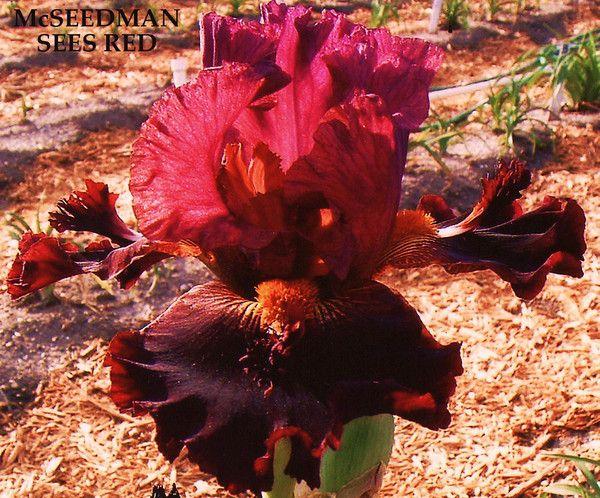 Iris McSEEDMAN SEES RED | Stout Gardens at Dancingtree