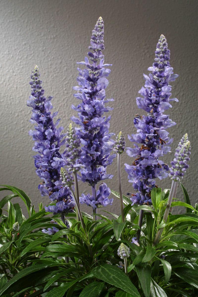 Blue salvia i think of you purple salvia purple