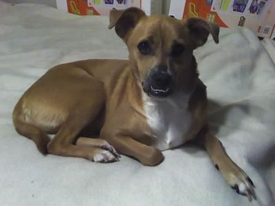 Dd 233 Boxachi Boxer Chihuahua Chihuahua Mix Puppies
