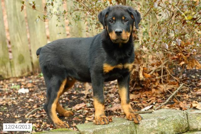 Rottweiler Puppies For Sale Lancaster Puppies Rottweiler Mix